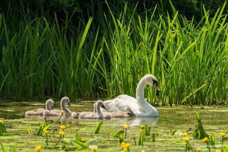 Swan and cygnets at Woods Mill Nature Reserve