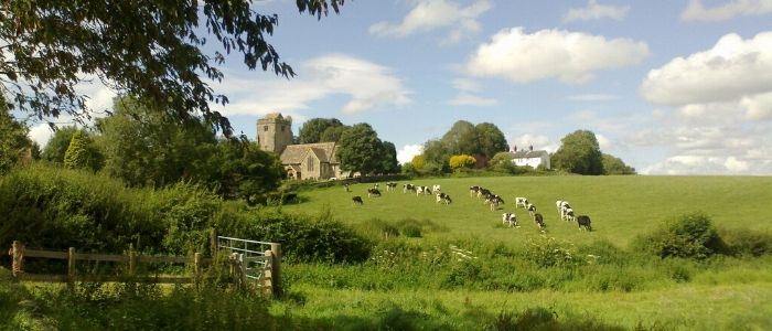 A field of cows behind the beautiful local church in Thakeham