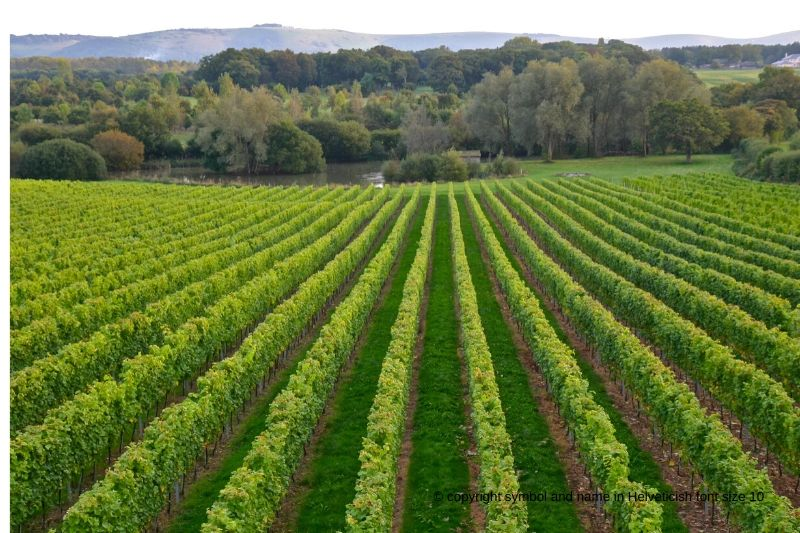 Rows of vines at Albourne Vineyard